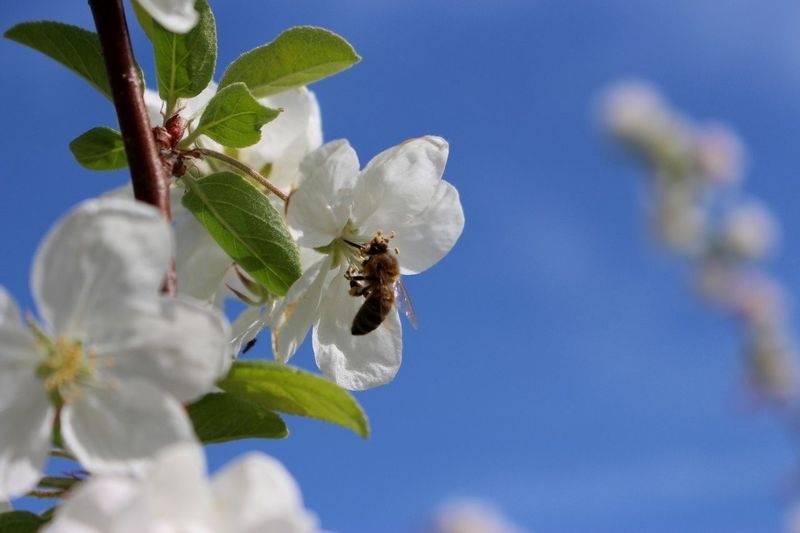 Bee Flower Insect Close-up Clear Sky Nature Honey Bee Blue Flying Animal Themes Sky Plant APIculture Pollen Blooming Petal