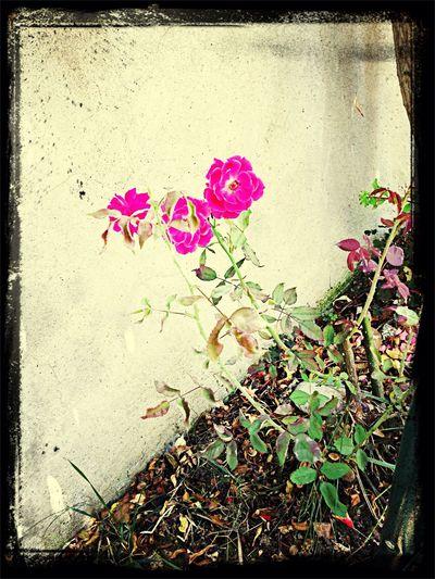 Rose💕🌹🌺 Nature First Eyeem Photo