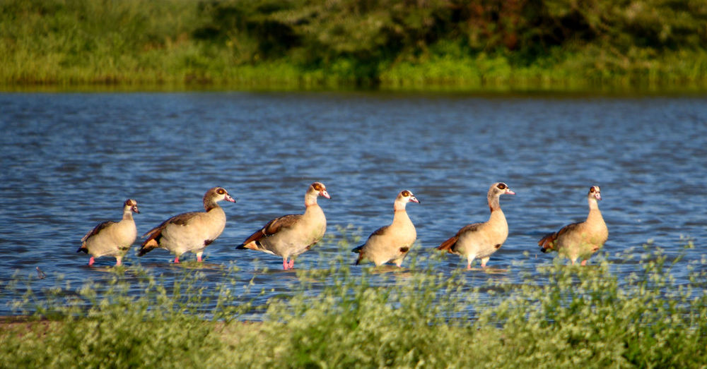 Animal Themes Animal Bird Animals In The Wild Water Animal Wildlife Group Of Animals Grass Lake Plant No People Nature Day Large Group Of Animals Lakeshore Goose Beauty In Nature Outdoors Flock Of Birds Animal Family Duck Ducks Birds