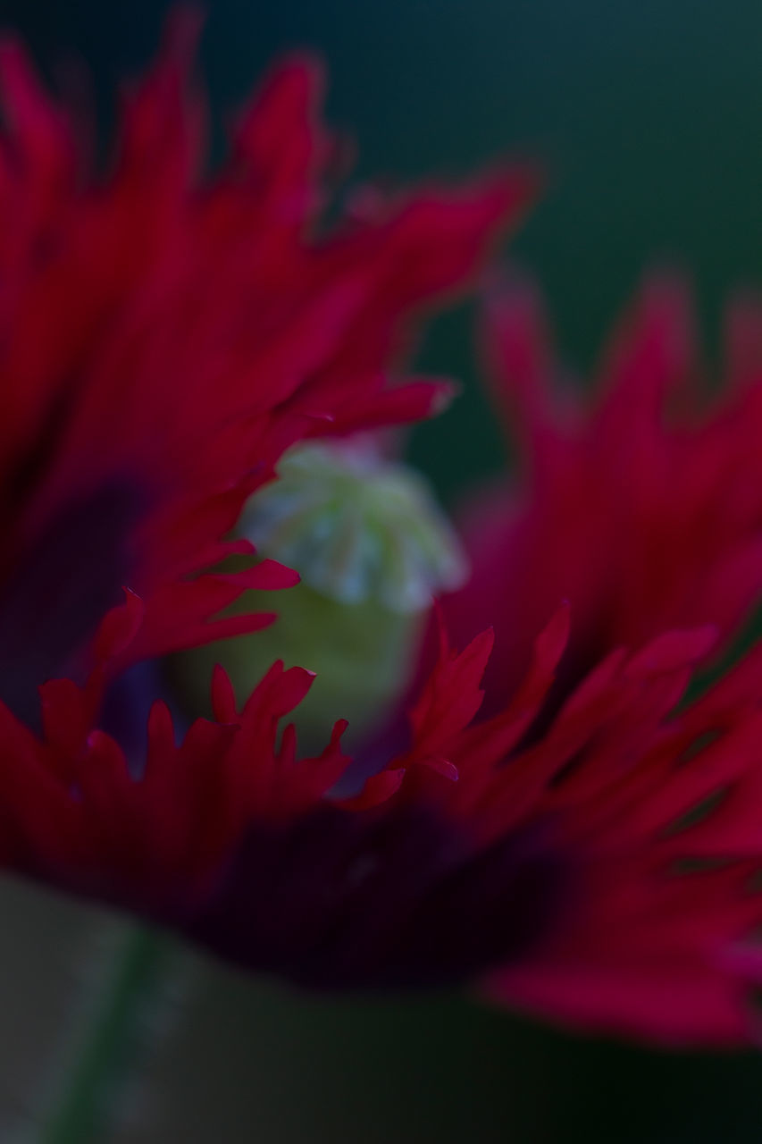 flower, petal, fragility, red, beauty in nature, growth, nature, freshness, selective focus, flower head, close-up, no people, plant, springtime, outdoors, blooming, day