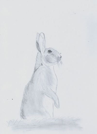 Sentinel_2 Oryctolagus Cuniculus Bunny  Drawing Pencil Drawing Black & White Wildlife One Animal Animal Wildlife White Background Animals In The Wild No People Portrait Animal Themes Nature Close-up Mammal