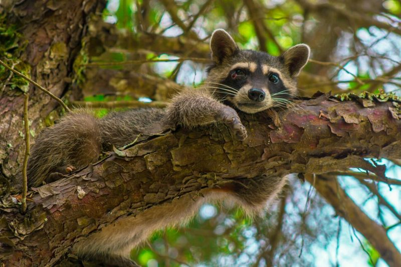 Nature Racoon Lazy