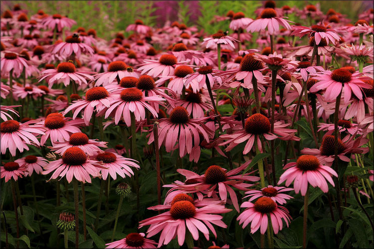 High Angle View Of Pink Coneflowers Blooming On Field