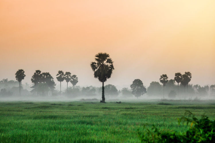 Scenic Landscape view in morning Sunrise and the mist in winter Landscape Green rice field and sugar palm plantation, Countryside Nong khai Province, Thialand. Tree Landscape Plant Environment Beauty In Nature Fog Land Field Scenics - Nature Tranquil Scene Grass Sky Tranquility Growth Nature Rural Scene Non-urban Scene Green Color Outdoors Sugar Sugar Plam Tree Sunset Nature Morning Fields And Sky