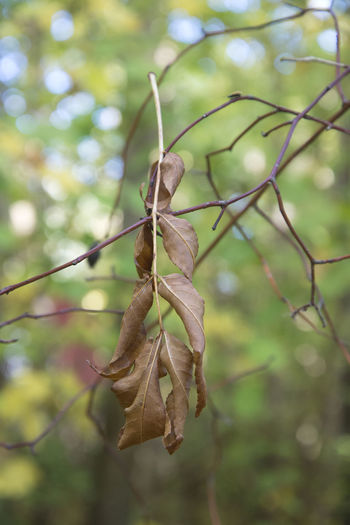 Dead rowan leaf (Sorbus aucuparia) Amager Fælled Autumn Mountain Ash Tree Nature Rowan Urban Nature Beauty In Nature Dry Leaf Nature No People Outdoors Selective Focus Tree Twig