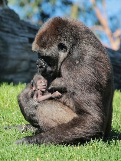 Newborn Animals In The Wild Animal Themes Animal Wildlife Outdoors No People Nature Mammal Ape Monkey Gorilla