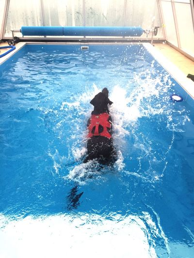 mogyoró jumping into the action Canine Hydrotherapy Labrador Dog