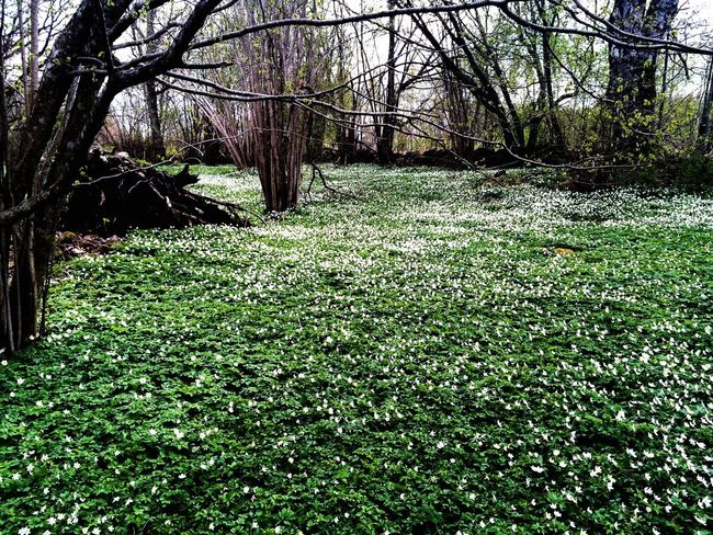 Tree Nature Tranquility Green Color Growth Beauty In Nature Grass Forest Branch Day Outdoors Bare Tree Urban Photography Flowers Vitsippor Trees Nature_collection Landscape_collection EyeEmNatureLover Nature Brilliance White Flowers EyeEm Gallery Wood Anemones Magic Forest