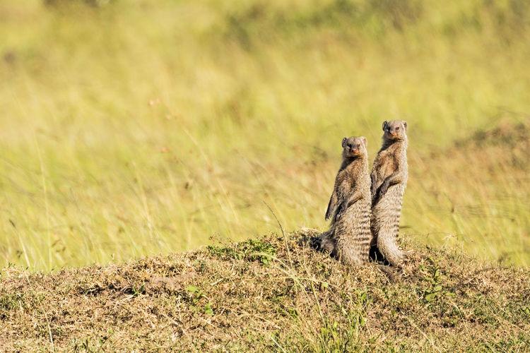 two meerkats watching us at the Mara Triangle Game Reserve, Kenya 2 Animals Animals In The Wild Attention Grass Kenya Mara Triangle Massai Mara Savannah Social Standing Underground Africa African Savanna Carnivoran Grassland Guardian Meerkats Savanna Vigilance  Watching