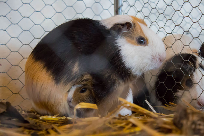 Guinea Pig Animal Animal Themes Animals In The Wild Cage Close-up Day Domestic Animals Guineapig Indoors  Mammal Nature No People One Animal Pets Small Young Adult EyeEmNewHerе