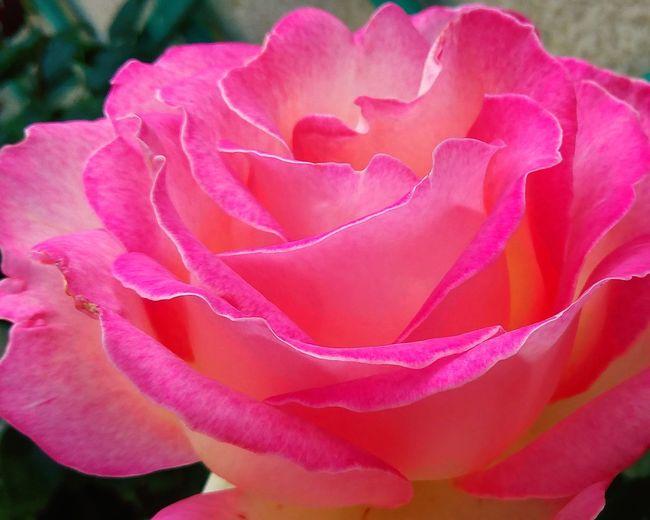 rosa Flower