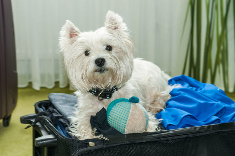 Dogs EyeEmNewHere Holiday Pet Photography  Pet Portraits The Week On EyeEm Travel Animal Themes Baggage Close-up Day Dog Dog Traveller Domestic Animals Indoors  Luggage Mammal No People One Animal Pets West Highland White Terrier Westie