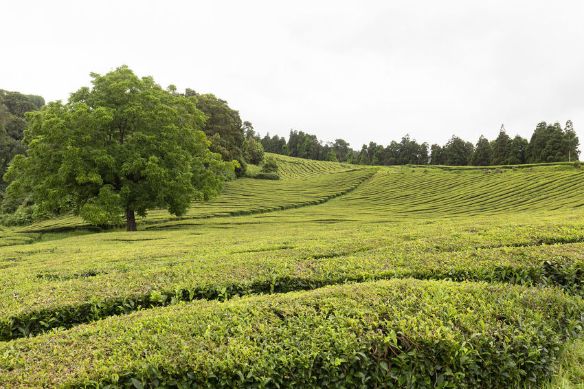 A beautiful tree growing between between rows of tea in the Azores. Tea Plantation Azores Portugal Green Production Organic Açores Sao Miguel Destination Europe Atlantic São Brás Agriculture Gorreana Tourism Tranquility Growth Field Landscape Plant No People Nature Black Tea Green Tea