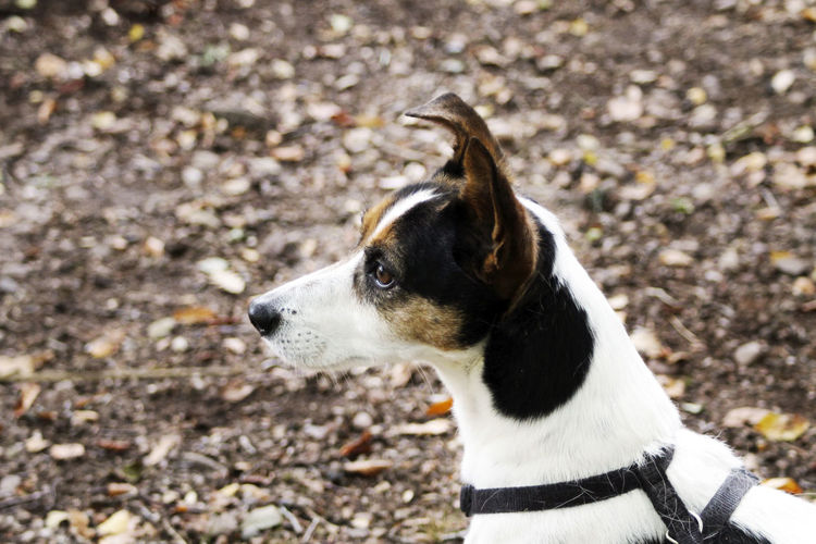 Jack Russell dog in the woods. Dogs Jack Russell Nature Animal Animal Head  Animal Themes Canine Close-up Day Dog Domestic Domestic Animals Field Focus On Foreground High Angle View Jack Russell Terrier Land Looking Looking Away Mammal Nature No People One Animal Pets Vertebrate