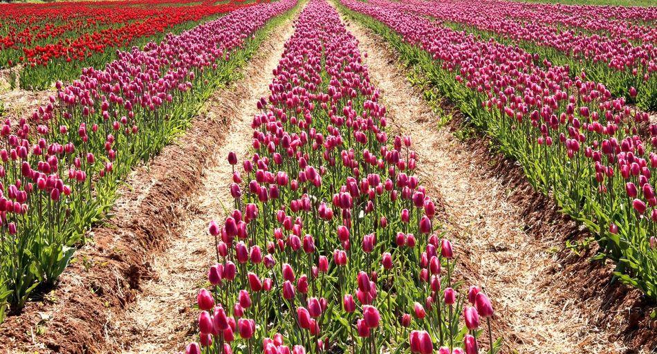 Tulip fields - Waterside - PEI Beauty In Nature Blooming Canada Farm Field Flower Flowerbed Growth Landscape Nature Pei Plant Prince Edward Island Spring Tulip