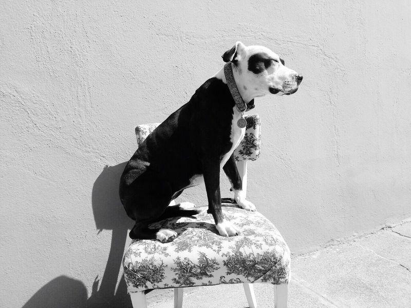Spoon The Dog Pets Corner Chair Pitbull Staffy Shades Of Grey
