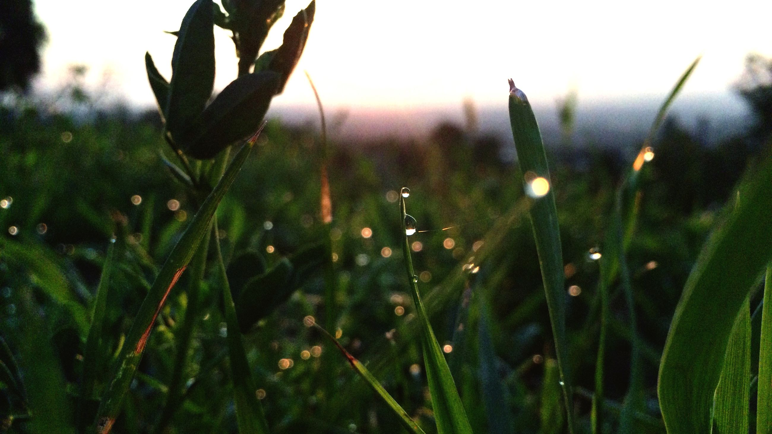 growth, nature, plant, beauty in nature, close-up, freshness, focus on foreground, field, tranquility, fragility, green color, growing, stem, clear sky, selective focus, grass, day, outdoors, tranquil scene, flower
