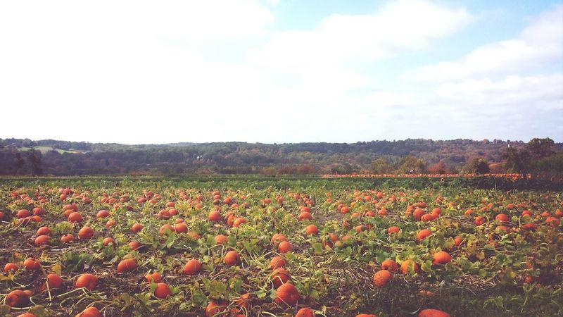 Pumpkins Connecticut Autumn Landscape_Collection