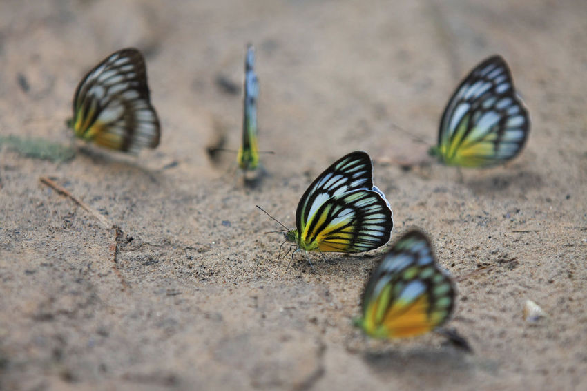 Butterfly Animal Markings Animal Themes Animal Wildlife Animals In The Wild Beauty In Nature Beuty Butterfly - Insect Close-up Colors Day Endemic Focus On Foreground Insect Maros-south Sulawesi-indonesia Nature No People Outdoors