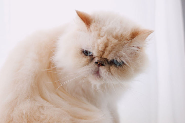cat Domestic Pets Domestic Animals One Animal Animal Themes Mammal Animal Cat Vertebrate Persian Cat  Domestic Cat White Color Feline No People Indoors  Close-up Looking Looking Away Facial Expression White Background Whisker Animal Head