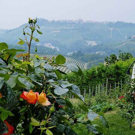 Italy🇮🇹 Winefields Wine Tasting Wineandmore Barolo Vineyards Feel The Journey View Over Barolo Wineyards Colourful Colour Of Life Flowers,Plants & Garden Fine Art Photography Fine Art Nature Green Green Green!  Taking You On My Journey 😎 Colour Of Life, Nature Photography Natural Beauty Lovely Nature Look Over The Wineyards Look Up And Take A Picture📸