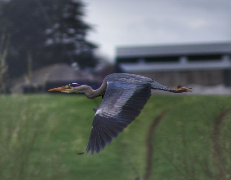 Showcase April Heron Flying Heron Animal Magic Nature_collection Wildfowl Capturing Movement In Flight Birds Birds Of EyeEm  EyeEm Best Shots - Nature Our Best Pics EyeEm Best Shots Spring2016 EyeEm Gallery Exceptional Photographs Bird Photography Birds_collection