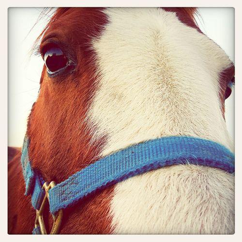Abby! Horse Barrelhorse Painthorse Arabian