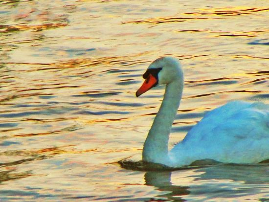 Animal Themes Bird One Animal Animals In The Wild Water Swimming Swan Lake No People Nature Water Bird Beak Animal Wildlife Outdoors Day Close-up Swans On The Lake Swans EyeEmBestPics City Life City Photographer Photo Of The Day EyeEm Best Shots Quiet Moments