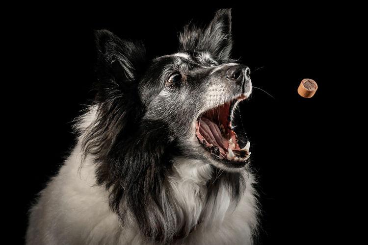Close-up of dog eating chocolate against black background