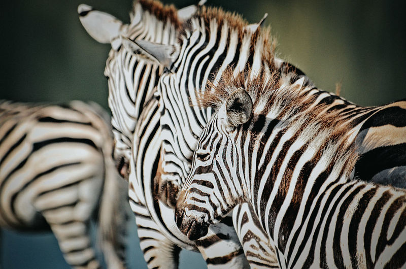 Close-Up Of Zebras