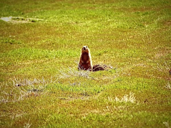 Grass One Animal Animals In The Wild Animal Wildlife Day Animal Themes Nature Green Color No People Outdoors Field Mammal Beauty In Nature Wyoming Worland WY Prairie Dog