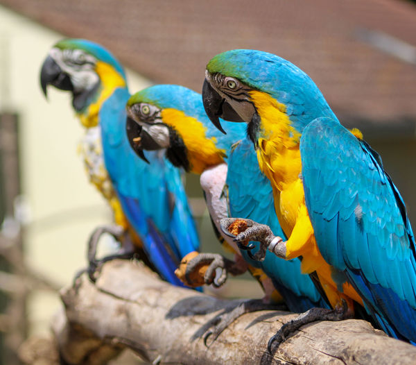 Close-up of blue parrot perching on branch