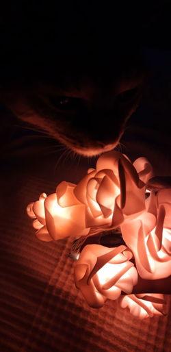 Misty-Rose Cat