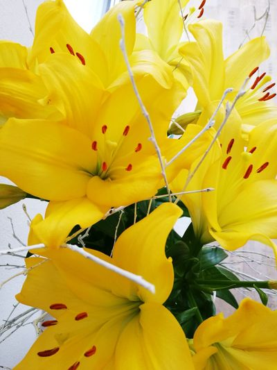 Yellow Flower Nature No People Close-up Flower Head Freshness
