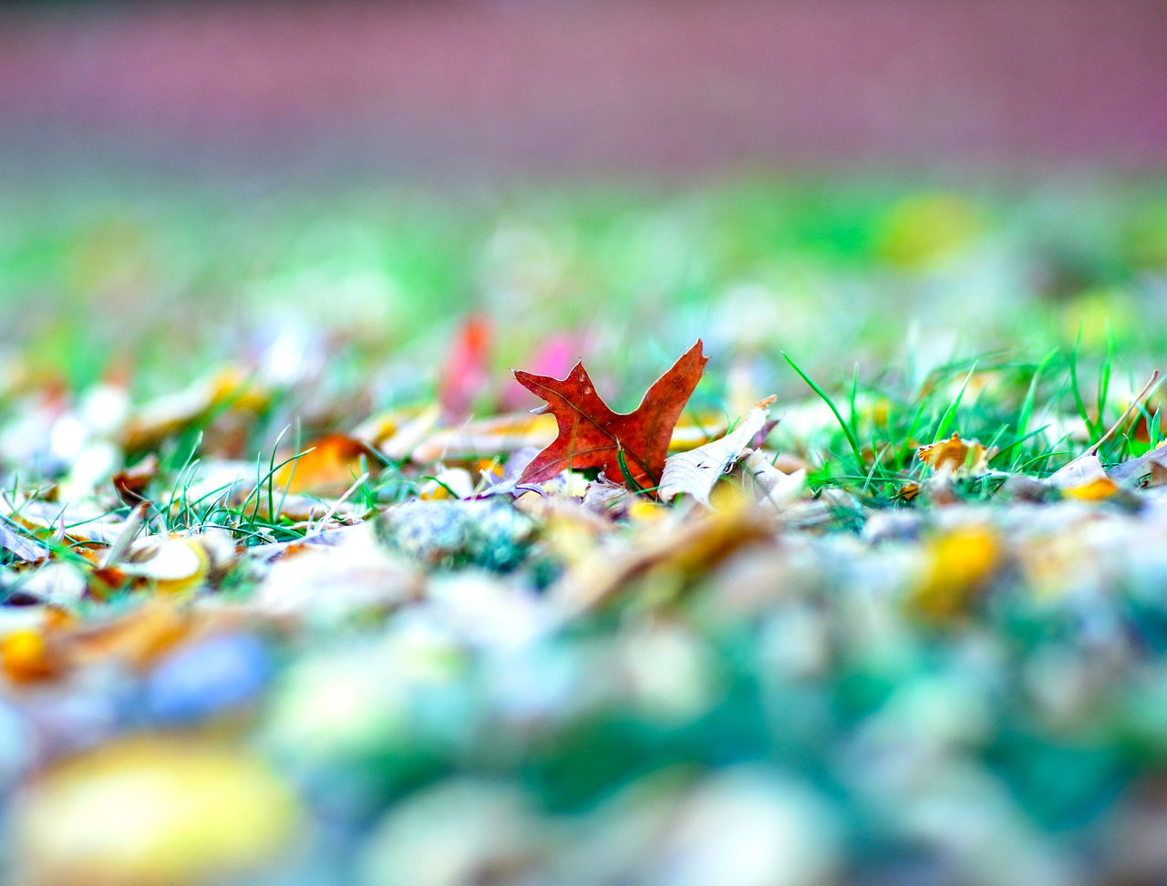 CLOSE-UP OF MAPLE LEAVES ON LAND