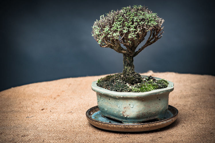 Beauty In Nature Bonsai Tree Close-up Day Focus On Foreground Freshness Green Color Growth Hessian Indoors  Nature No People Plant Potted Plant Table Thyme