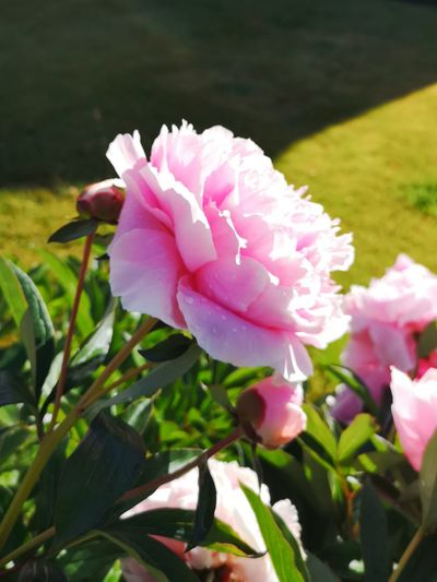 Pink Peony Flower Head Flower Peony  Pink Color Leaf Petal Close-up Plant