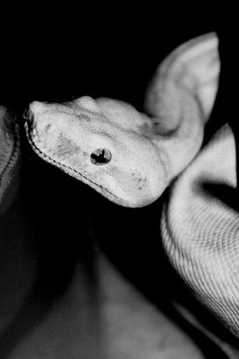 Snake Albinosnake Animal Photography Blackandwhite Photography Monochrome Animal Portrait Albinism