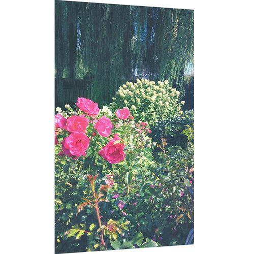 Roses Flowers Summer Garden