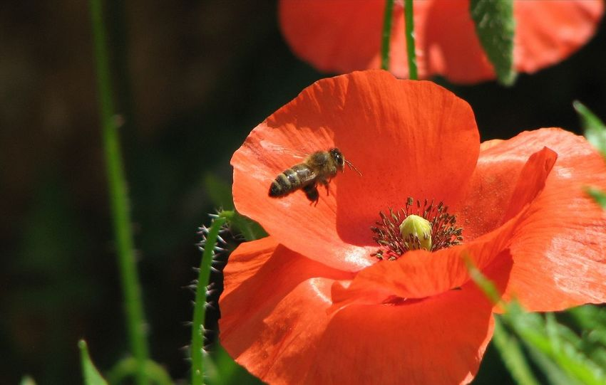 Robin Fifield - Flora Bee And Flower Bee Collecting Pollen Copy Space HoneyBee Poppy Flowers Poppy Poppy With Bee Red Poppy Spring Flowers Spring Nature Spring Sunshine Andalucia Rural