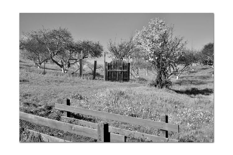 Orchard Gate 4 Garin Regional Park Wooden Gate Orchards Scenic Eastbay Hills Rolling Hills Valleys Landscape_Collection Blooming Tree Fence Wooden Fence Posts Rails Wildflowers Painted Tree Trunks Bnw_friday_eyeemchallenge Bnw_gateway Monochrome_Photography Monochrome Black & White Black & White Photography Black And White Collection  Black And White Nature Nature Collection Beauty In Nature Close-up Architecture Chainlink Fence