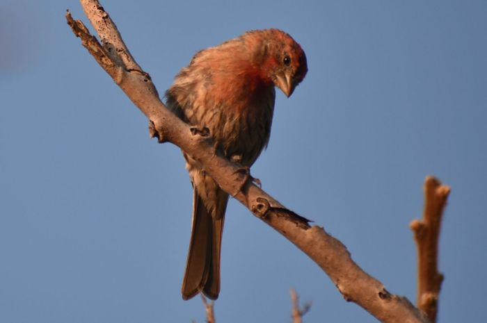 House finch at sunrise on Marginal Way in Maine. Ogunquit Birds Marginal Way Birds Of EyeEm  Marginal Way Maine EyeEm Selects Animal Themes Bird Animal Vertebrate Animal Wildlife Branch Animals In The Wild Perching Sky Nature Tree Plant No People Low Angle View Day One Animal