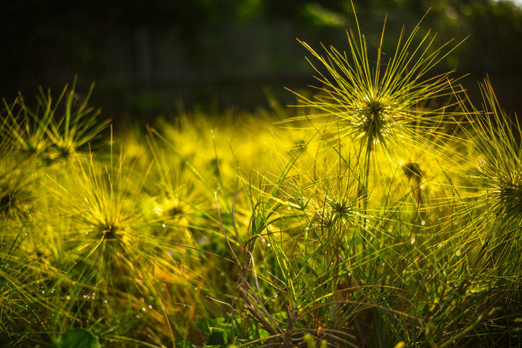 Grass Plant Growth Flower Flowering Plant Vulnerability  Fragility Dandelion Freshness Beauty In Nature Close-up Nature Flower Head Inflorescence No People Field Focus On Foreground Land Yellow Selective Focus Green Color Outdoors Dandelion Seed Grass Green Color Low Angle View Sunshine Bright Light Wilderness Sunrise Sunset Golden Hour