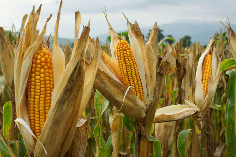 Ripe BT Corn in the Philippines. Agriculture Cereal Plant Chemical Corn Corn - Crop Corn On The Cob Crop  Day Farm Food Freshness Healthy Eating Healthy Lifestyle Homegrown Produce Monsanto No People Oat - Crop Outdoors Pesticides Rural Scene Sky Sweetcorn Vegetarian Food Wheat Wholegrain