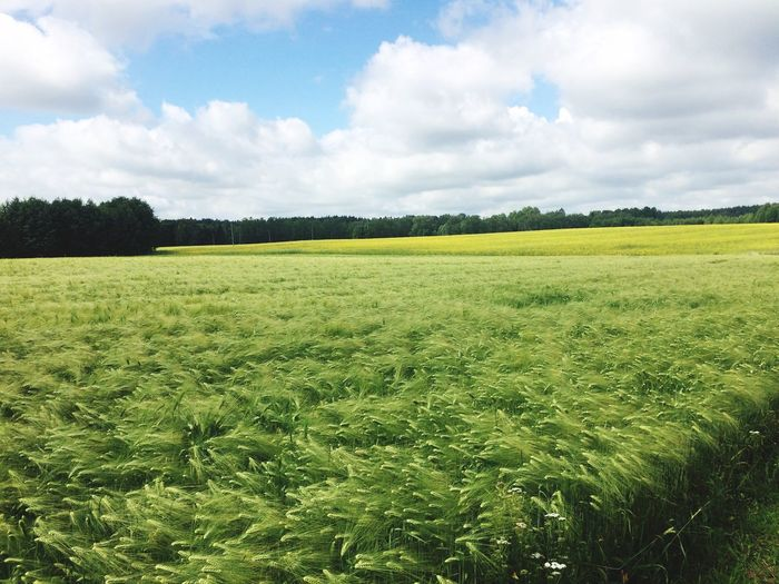 Agriculture Field Nature Farm Landscape Crop  Green Color Sky Rural Scene Beauty In Nature No People Cultivated Land Nature (null)Beauty In Nature Cropfields Summer Summer Views