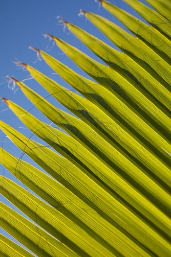 Palm Tree Growth Leaf No People Plant Part Palm Leaf Pattern Frond Tropical Climate Backgrounds Beauty In Nature Nature Natural Pattern Close-up Green Color Plant Full Frame Yellow Tree Day Outdoors Leaves Coconut Palm Tree
