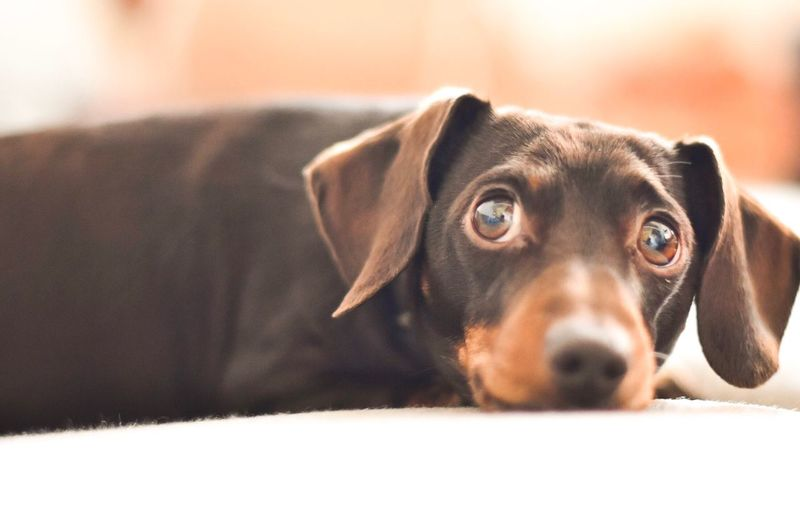 Cutie Pets Mammal One Animal Dog Domestic Animals Animal Themes Close-up Portrait Looking At Camera Dachshund Pet Photography  Sausagedog Cute Pets Cute Dog  Dogs Of EyeEm Daschund Dogs Brown Eyes Indoors  Day