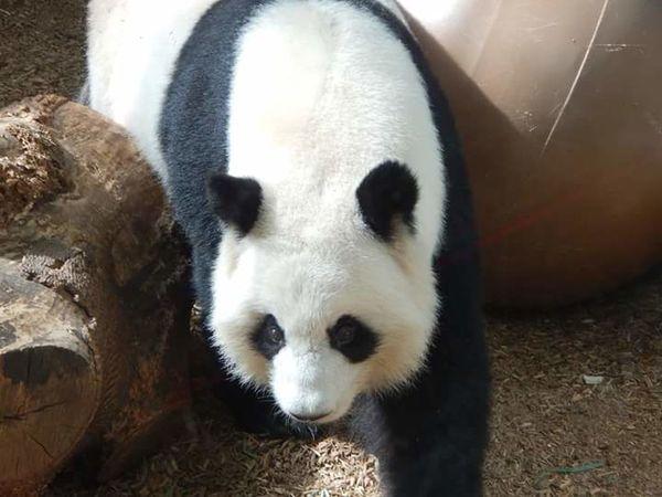 Zooatlanta PANDA ♡♡ Pandashots Panda Bear Pandas♥ Pandalove Pandabear