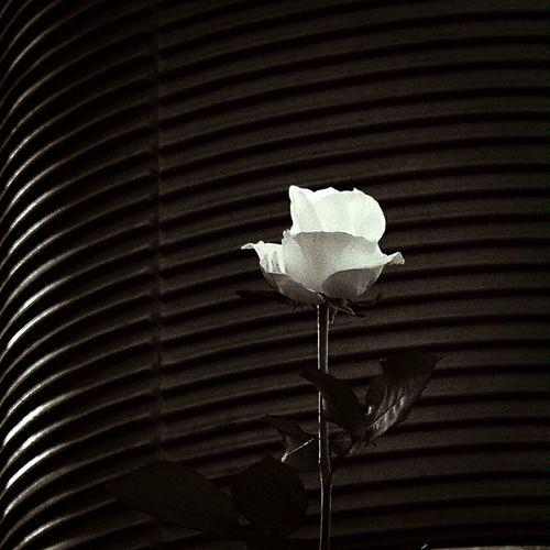 White Rose Flower EyeEm Flower Blackandwhite Eye4black&white  Tribute Memory Hope