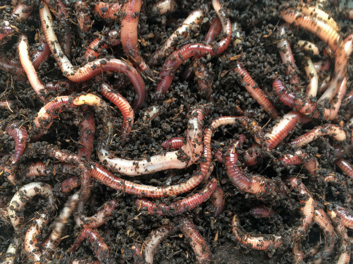 Full frame shot of earthworms with compost